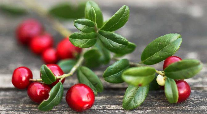 О сроках сбора дикорастущих ягод в 2021 году